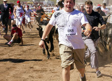 Running of the Bulls in America in Arizona Royalty Free Stock Image