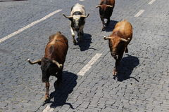 Running of the bulls in the Azores. Loose bulls run through the center of Angra do Heroísmo arena during the Sanjoaninas. This is the largest yearly festival stock photos