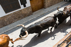 Running bulls. Top view of a bulls running along the town street on sunny day in Spain Royalty Free Stock Image