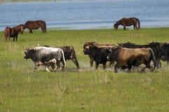 Running Bulls in water Stock Image