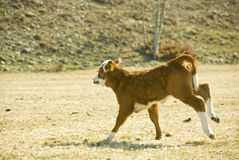 Running calf Stock Photography