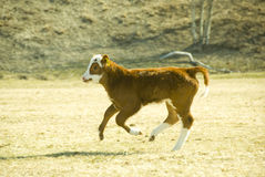 Running calf Royalty Free Stock Image