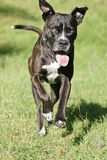 Running cane corso dog Royalty Free Stock Image