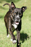 Running cane corso dog Stock Photos