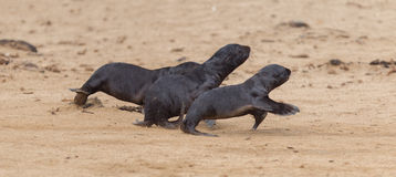 Running cape fur seals (Arctocephalus pusillus) Stock Photography