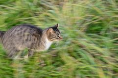 Running cat Royalty Free Stock Image
