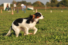 Running cavalier king charles Stock Image