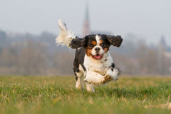 Running Cavalier King Charles Dog Royalty Free Stock Photo