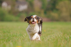 Running Cavalier King Charles Dog Stock Photos