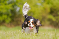 Running Cavalier King Charles Dog Stock Images