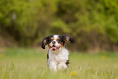 Running Cavalier King Charles Dog Royalty Free Stock Photos