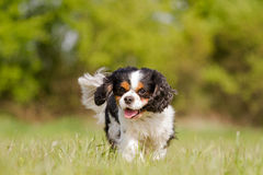 Running Cavalier King Charles Dog Stock Photography