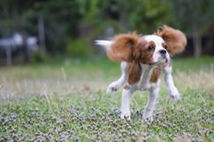 Running cavalier king charles spaniel puppy from front. Cavalier King Charles Spaniel puppie dog royalty free stock photos