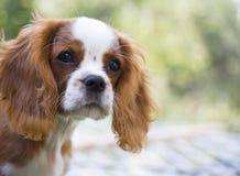 Running cavalier king charles spaniel puppy from front. Cavalier King Charles Spaniel puppie dog stock photo