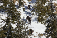 Running chamois Royalty Free Stock Images