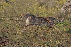 Running cheetah. A cheetah running through yellow flowers Stock Images