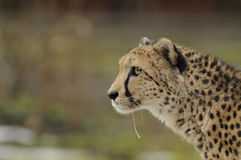 Running Cheetah Stock Image