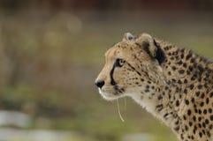 Running Cheetah Stock Image