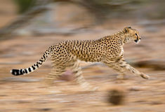 Running cheetah. A motion blur photograph of a young cheetah running Royalty Free Stock Photo