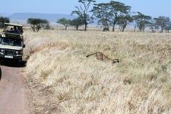 Running cheetah Royalty Free Stock Photo