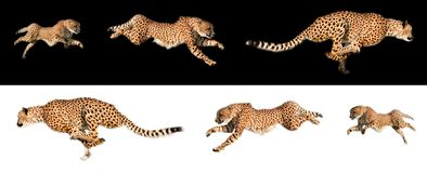 Running cheetah sequences royalty free stock images