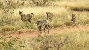 Running Cheetahs Stock Image