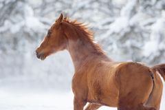 Running chestnut horse winter portrait Stock Images