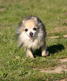 Running chihuahua Royalty Free Stock Photos
