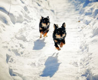 Running Chihuahua dog royalty free stock photo