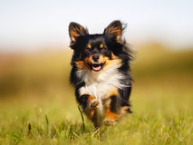 Running chihuahua Stock Images
