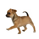 Running chihuahua puppy royalty free stock images