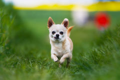 Running chihuahua Royalty Free Stock Images