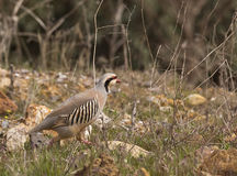 Running Chukar (Alectoris chukar). A chukar is trying to run away stock image