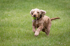 Running cocker spaniel with ball Royalty Free Stock Photo