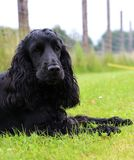 Running cocker spaniel is lying in the park. Beautiful cocker spaniel is lying in the garden royalty free stock photo