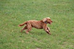 Running cocker spaniel in the park. Beautiful cocker spaniel is running in the garden stock images