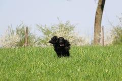 Running cocker spaniel in the park. Beautiful cocker spaniel is running in the garden stock photo