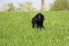 Running cocker spaniel in the park. Beautiful cocker spaniel is running in the garden royalty free stock image