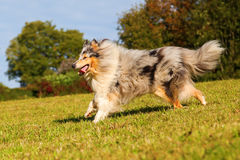 Running collie dog Royalty Free Stock Image