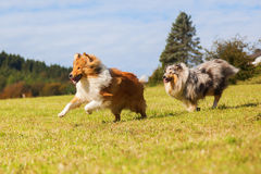 Running collie dogs. Collie dogs running on the meadow royalty free stock photography