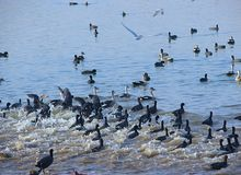 Running Common Coots at Randarda Lake, Rajkot, Gujarat Royalty Free Stock Image