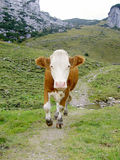 Running cow. A running cow in the Bavarian Alps. The cow came along in the middle of the path very resolutely, so we had to avoid her carefully Stock Images