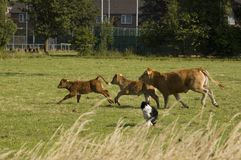 Running cow and calfs organized by a dog Stock Image