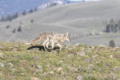 Running coyote on grass with mountain in background Royalty Free Stock Photo