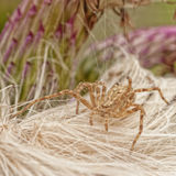 Running Crab Spider Royalty Free Stock Photo