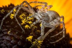 Running Crab Spider Macro. Super macro close up Running Crab Spider on yellow flower Stock Image