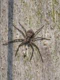 Running crab spider, Philodromus margaritatus Stock Photos