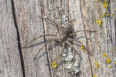 Running crab spider, Philodromus margaritatus Stock Image