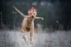 Running crazy portrait of vizsla hunter dog. In winter Royalty Free Stock Image