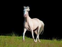 Running cream pony at black background Stock Photos